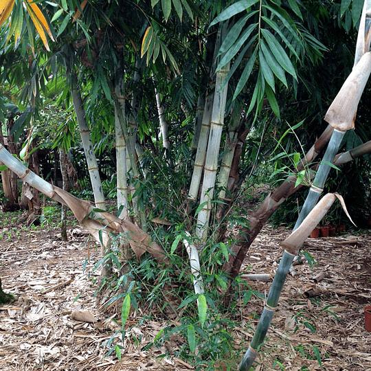 Planta Bambú Palo Grueso Dendrocalamus - Image 4