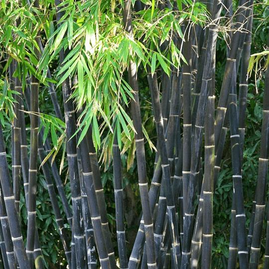 Bambú palo negro Phyllostachys nigra