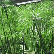 Papiro Egipcio Cyperus papyrus