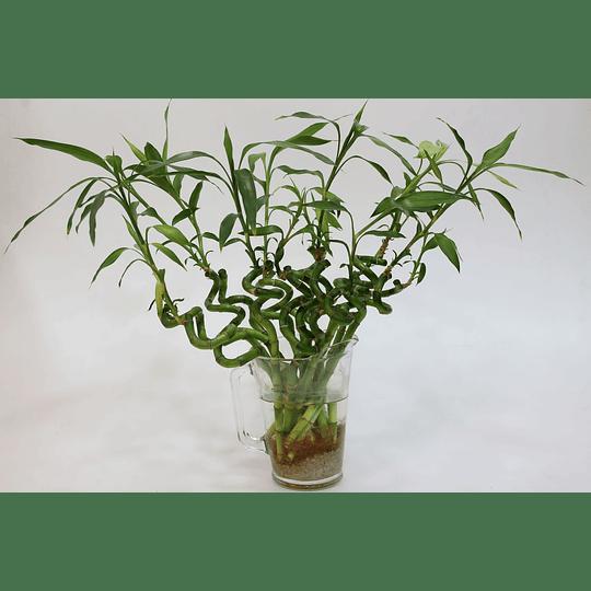Bambú Lucky - Bambú de la Suerte y la Salud - Image 2