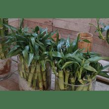 Bambú Lucky - Bambú de la Suerte y la Salud