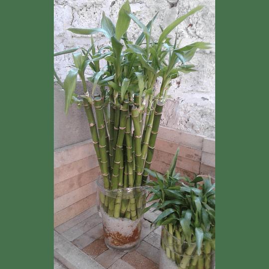 Bambú Lucky - Bambú de la Suerte y la Salud  - Image 3