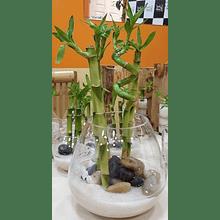 Bambú Lucky Arreglo 12