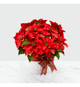 Canasto de Poinsettias
