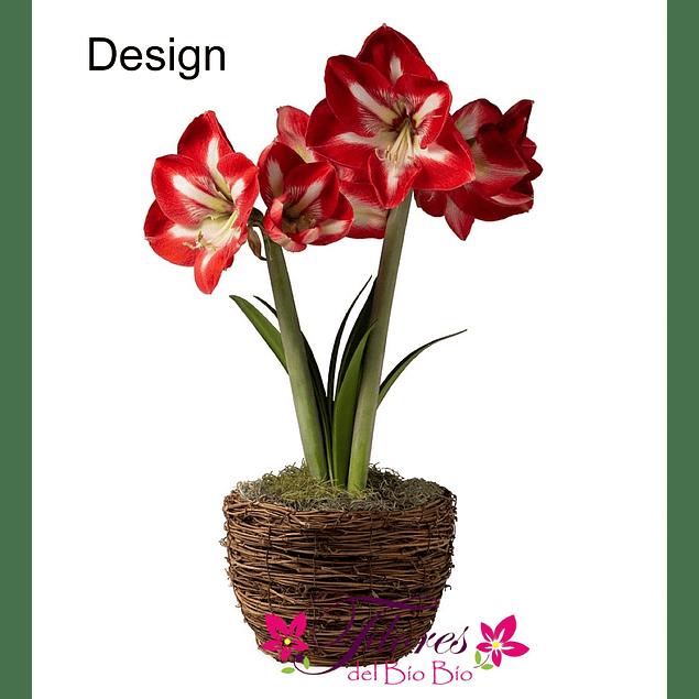 Bulbo Amaryllis Design
