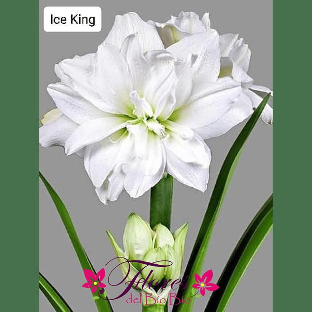 Bulbo Amaryllis Ice King