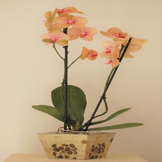 Orquídea en Macetero