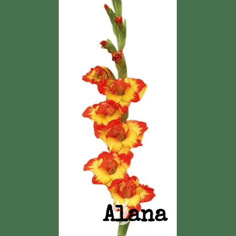 PACK GLADIOLOS Bicolor naranjo-amarillo (