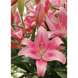 LILIUMS ASIATICO ROSADO (INDIAN SUMMERSET)