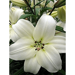 LILIUMS ASIATICO BLANCO (LITOUWEN)