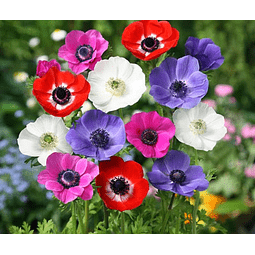 ANEMONAS MIX COLORES