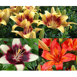 LILIUMS ENANOS BICOLOR (POT)  BANDEJA MIX