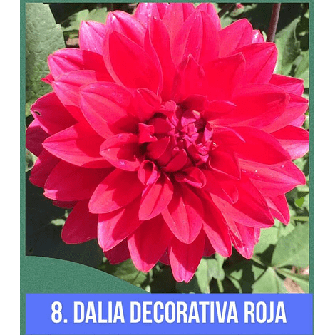 DALIA # 8 - DECORATIVA ROJA (mediana)