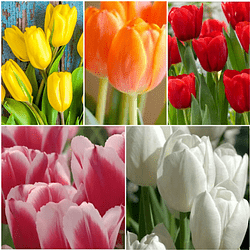 PACK TULIPANES MIX COLORES