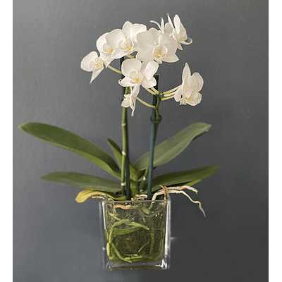 Mini orquidea Agave