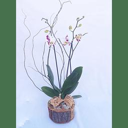 Orquídea en Planta