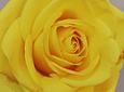 Ramo de Rosas Equilibro