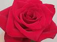 Ramo Rosas Fogo