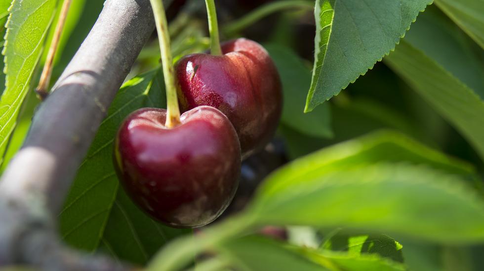 Una pronta exportación de cerezas… ¡pero versión líquida!