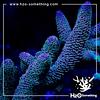 Acropora Spathulata Pink Tips
