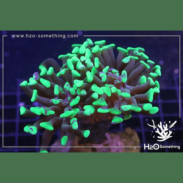 Euphyllia parancora H2O Hybrid