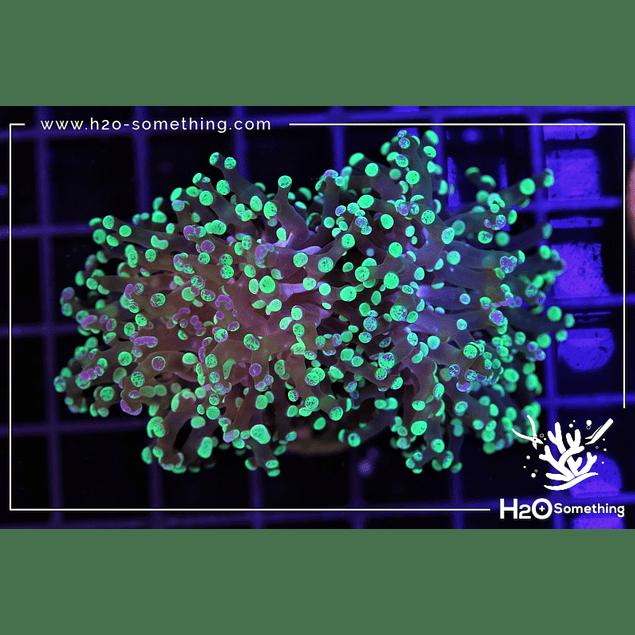 Euphyllia paradivisa H2O Hybrid
