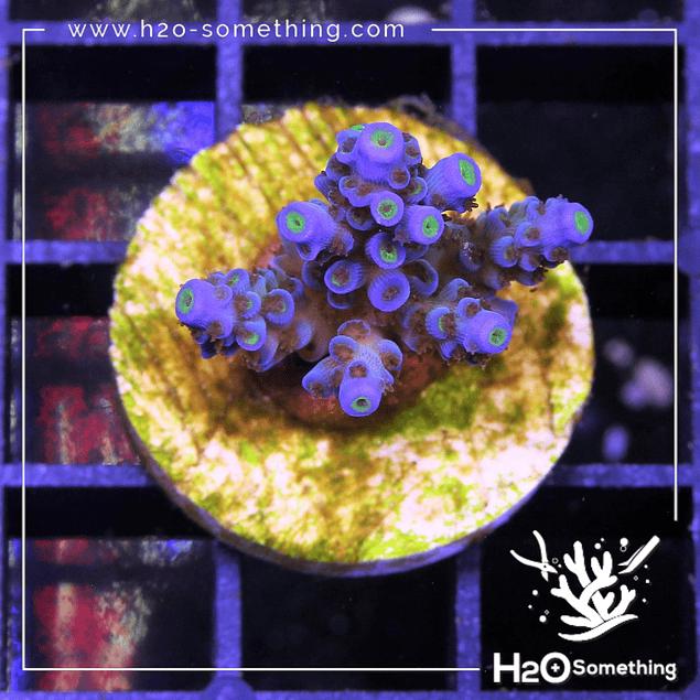 Acropora Tenuis Bali  lime blue tips