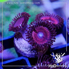 Zoanthus Pink Monster