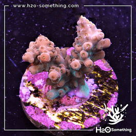 Acropora lavender pink