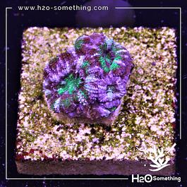 Acanthastrea Purple Shades