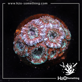 Acanthastrea red/green