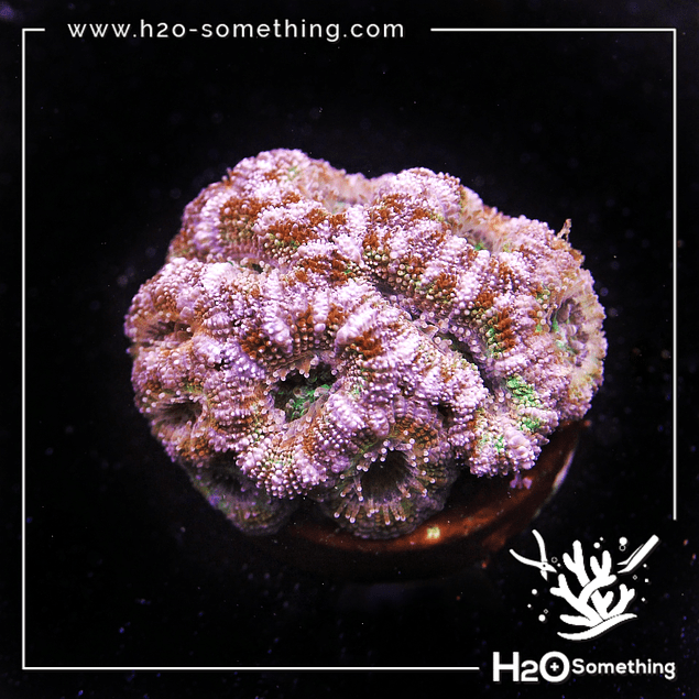 Acanthastrea red/pink  with green eye