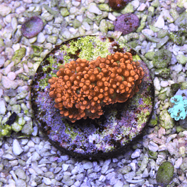 Goniopora red yellow center (long tentacle)