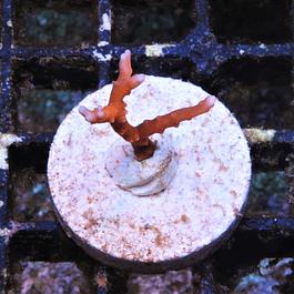 Red TNT Anacropora forbesi
