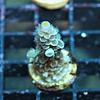 Acropora Vermiculata Bali lime tips