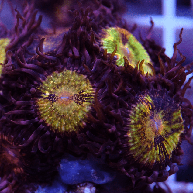 Zoanthus Space Monster