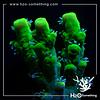 Acropora aculeus