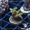 Acropora hyacinthus Green Planet