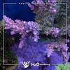 Acropora solomon pink