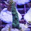 Acropora formosa blue