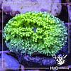 Hydnophora Ultra Green