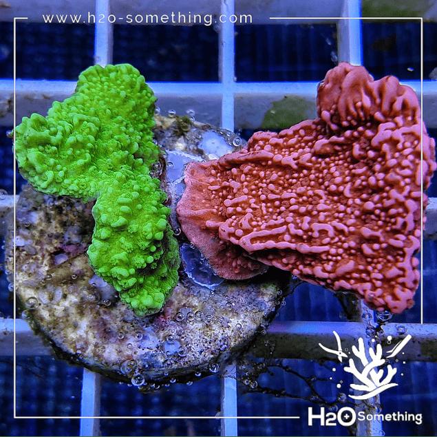 Montipora Green Metallic x Red