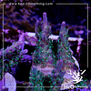 Acropora williasae  rare purple tip