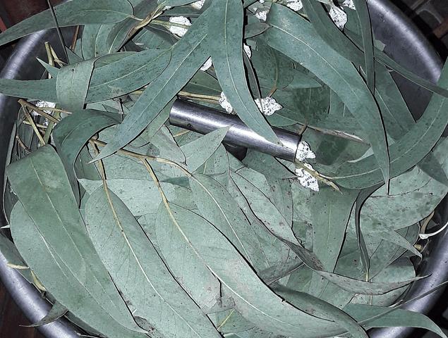 Hidrolato  Eucaliptus