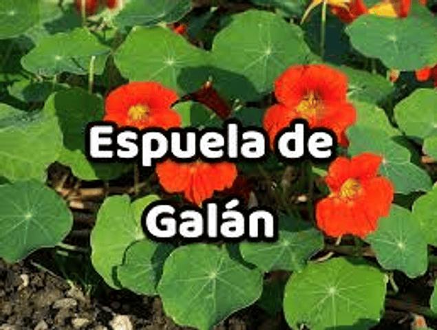 Hidrolato  Espuela de Galán