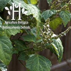 Patchouli Bio Aceite Esencial 5 ML