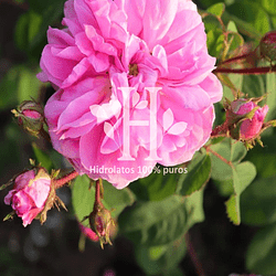 Hidrolato de Rosa Centifolia  500 ml