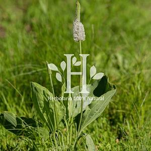Plantago (llanten) Extracto HG 100 ml