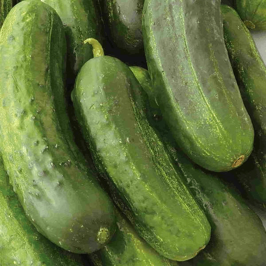 Pepino National Pickle semillas