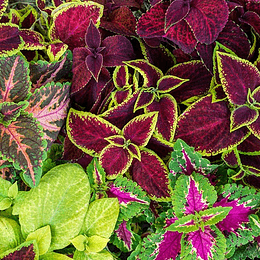 Coleus Mix Colores semillas